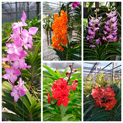Combo of Ascocentrum plants