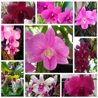 Combo of Dendrobium plants